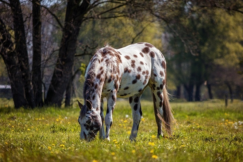Appaloosa in the meadow