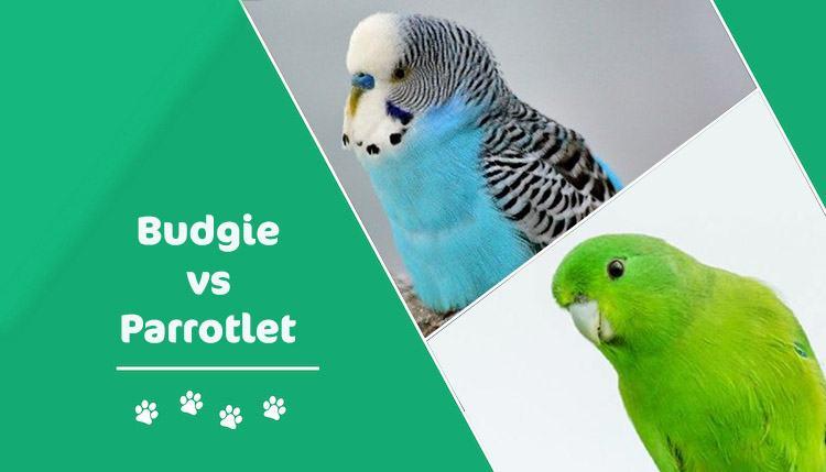 BUDGIE VS Parrotlet header
