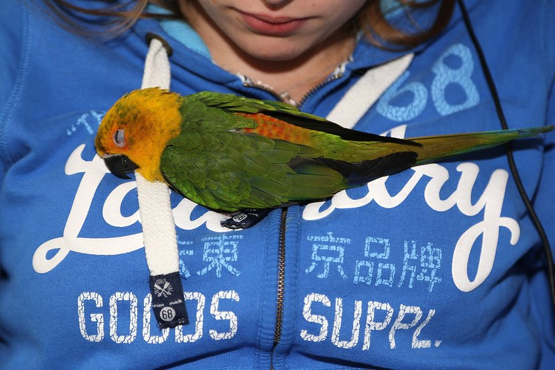 Baby Jenday conure_pixieclaire001_flickr