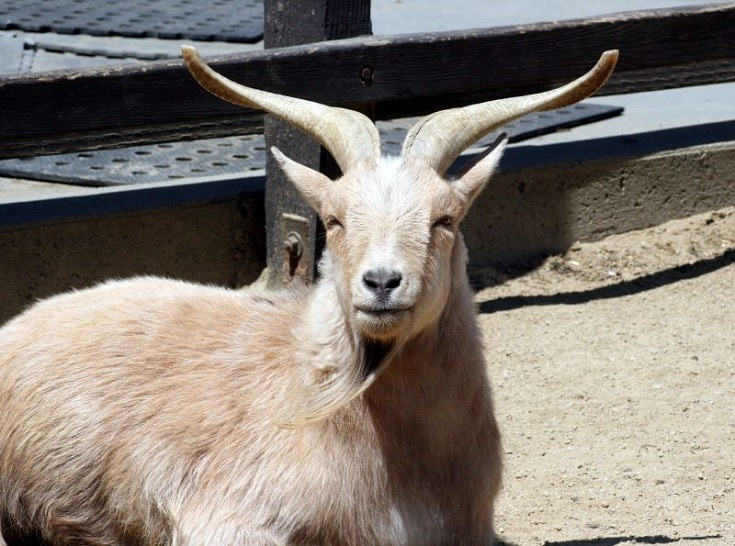 Beautiful Nigerian Dwarf Goat