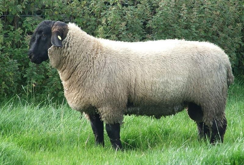 Beautiful Suffolk Sheep