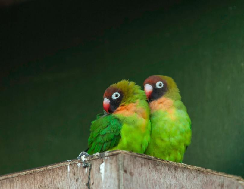 Black-Cheeked Lovebirds