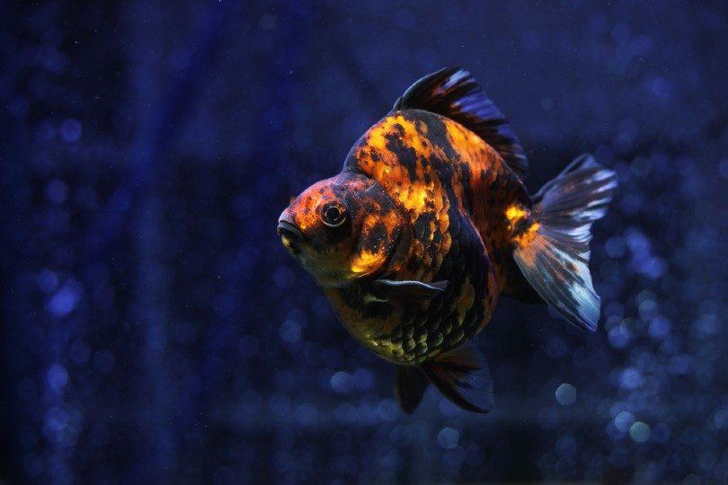 Black and Orange Ryukin Goldfish