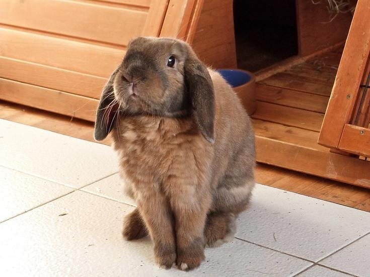 Brown Holland Lop Rabbit