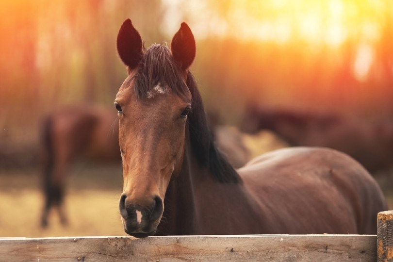 Brown young horse stallions