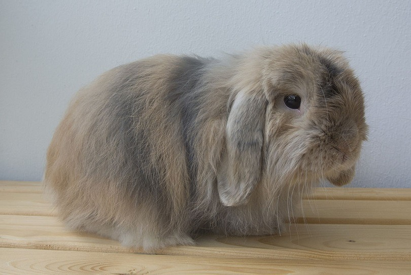 Cashmere_Lop-commons wikimedia