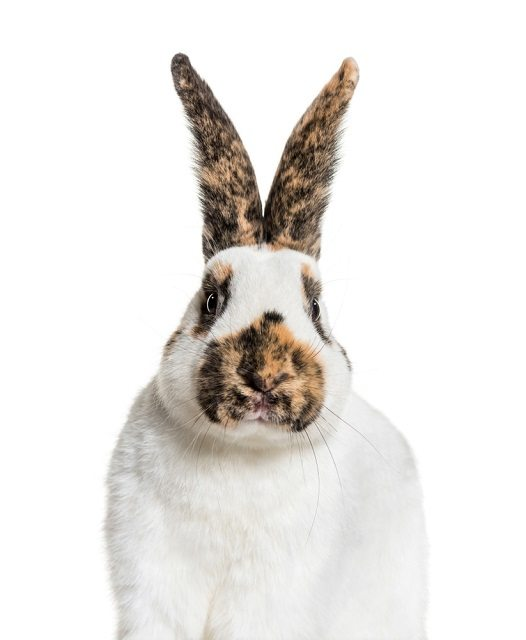 Checkered-Giant-rabbit_Eric-Isselee_shutterstock