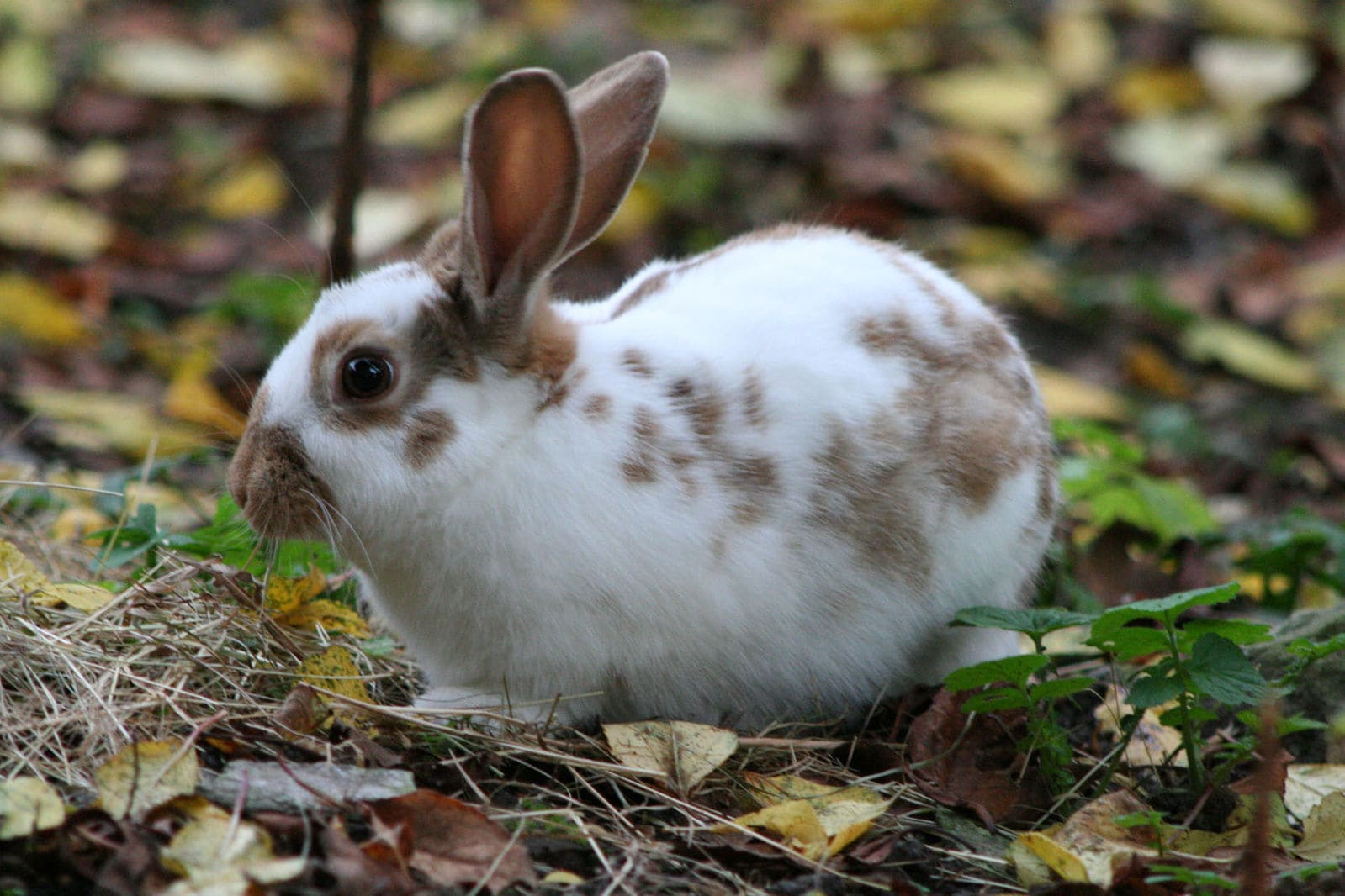 Chocolate English Spot Rabbit