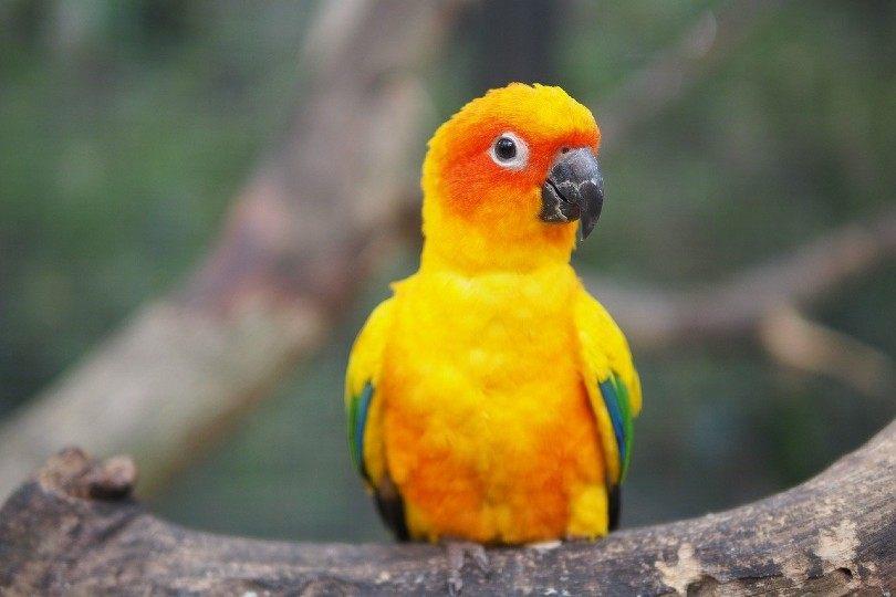 Conure Bird