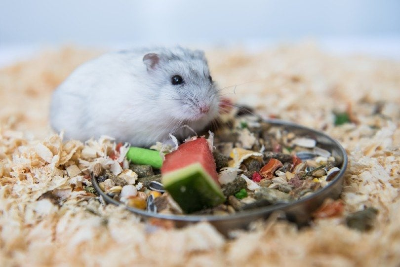 Djungarian hamster eating a piece of watermelon
