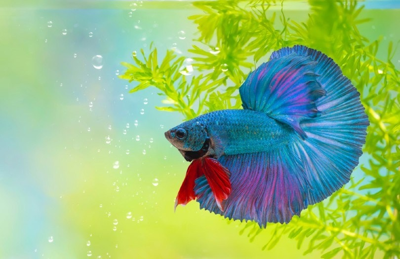 Double Tail Betta Fish