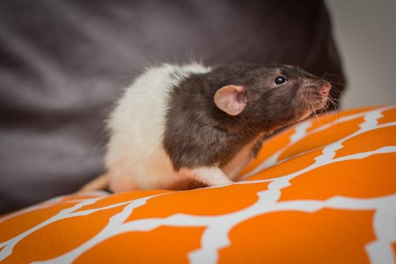 Fancy agouti-colored dumbo rat
