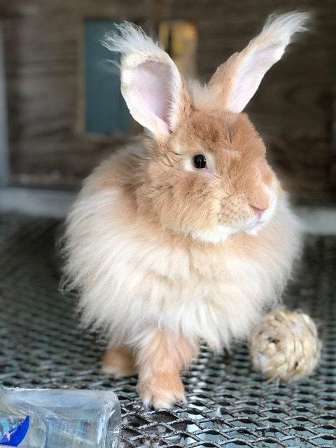 French-Angora-Rabbit_Natalee-Wright_shutterstock