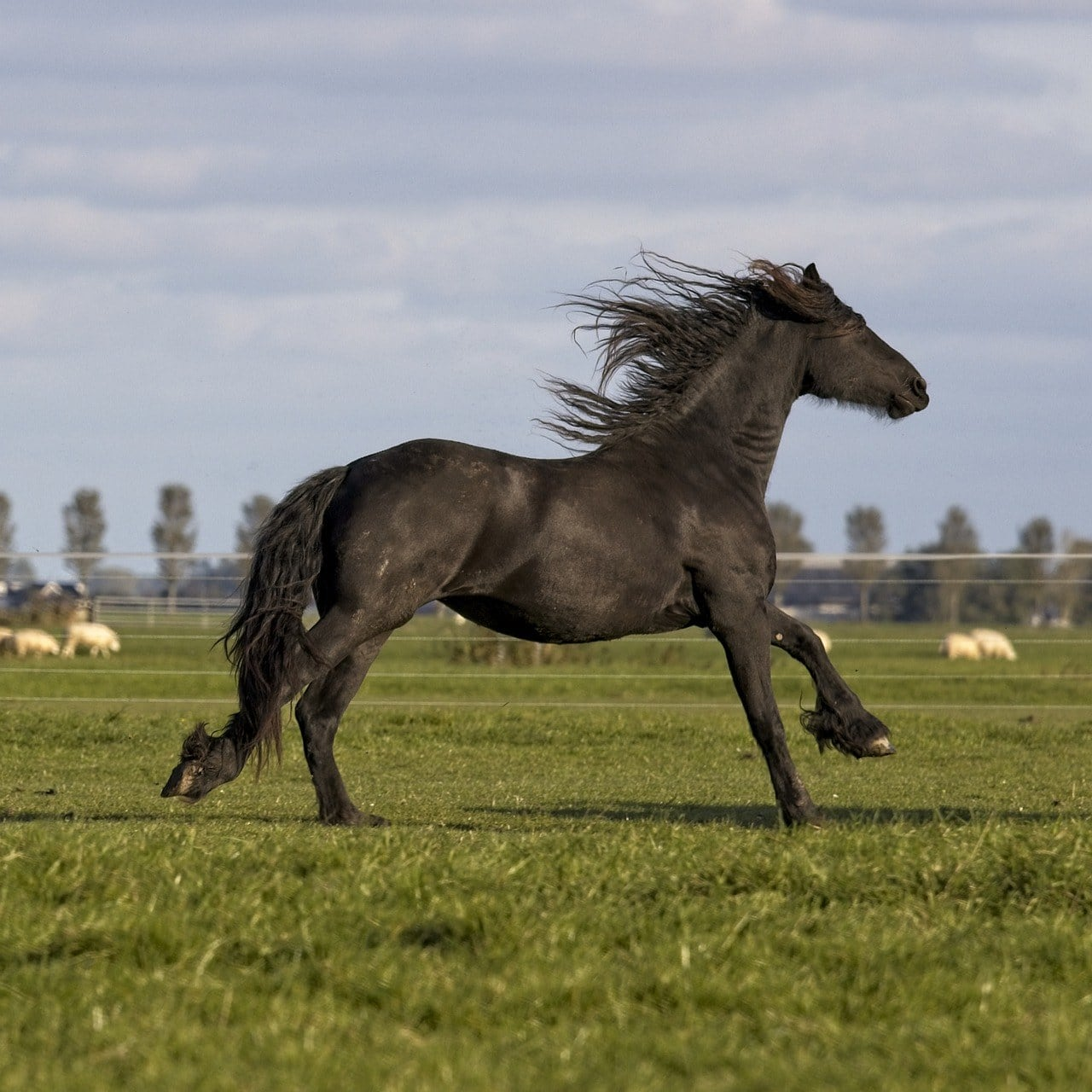 Friesian Horse galloping
