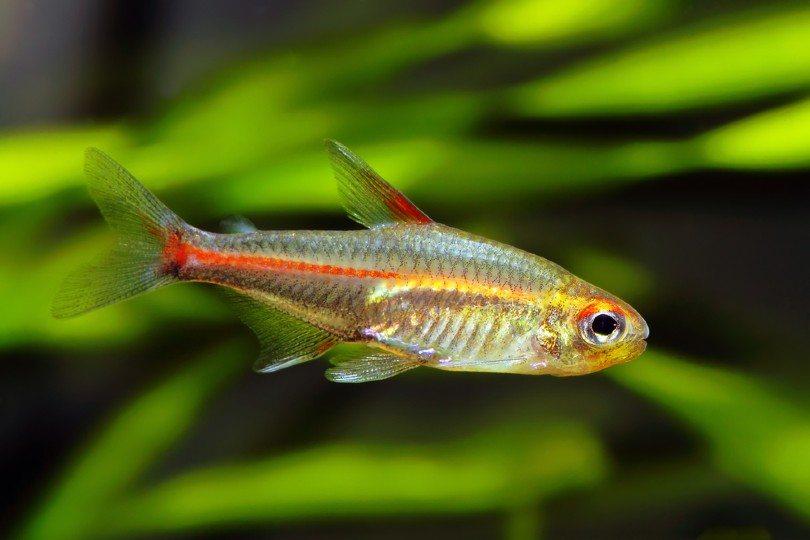 Glowlight Tetra fish