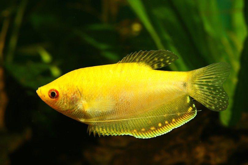 Gold Gourami