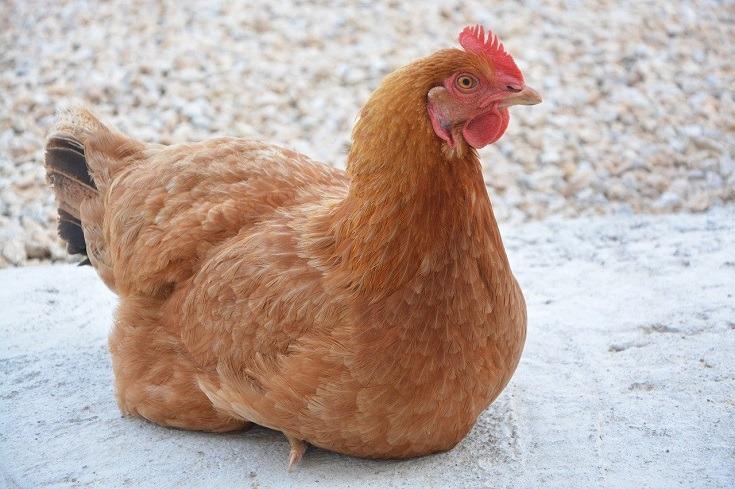 Chicken hen_JACLOU-DL, Pixabay