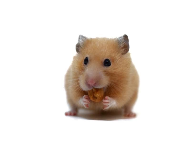 Golden-hamster-eating-cashew-nuts_Aticha-Singsaeng_shutterstock
