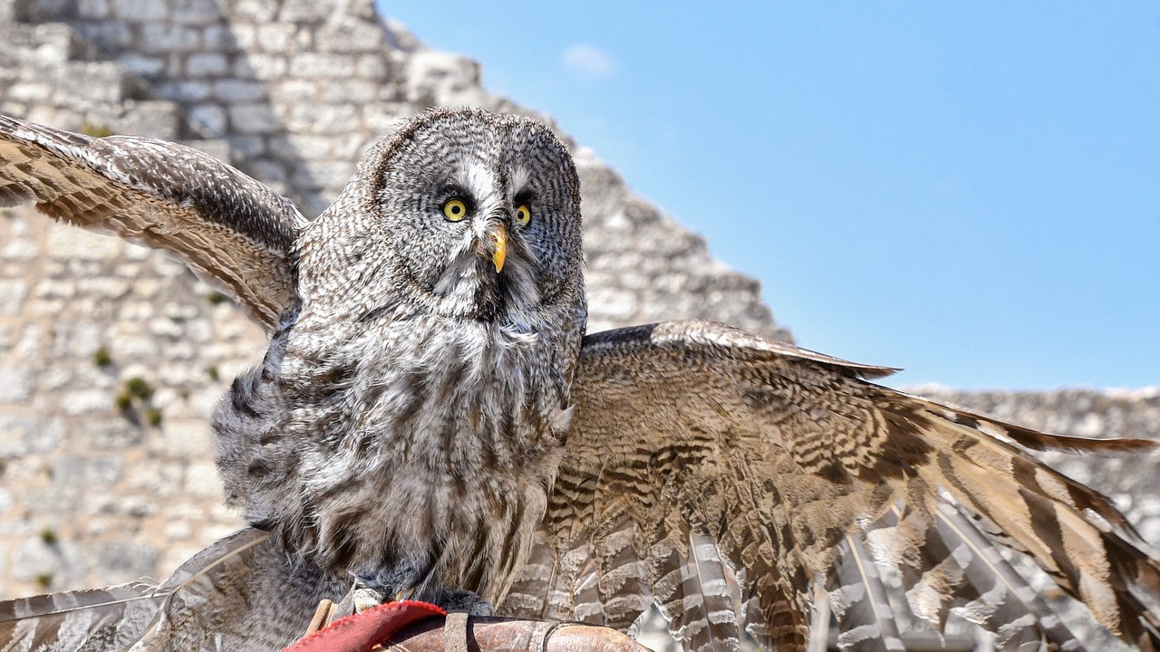 Great Grey Owl_christels, Pixabay