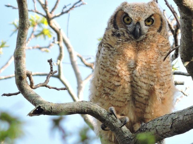 Great Horned Owl_Pixabay