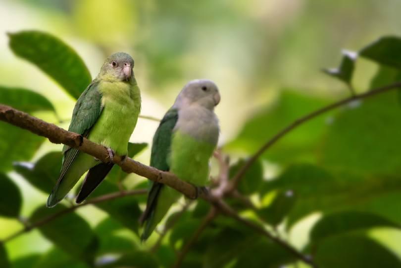 Grey-Headed Lovebirds