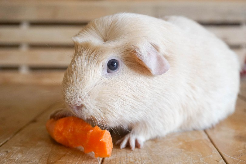 Guinea pig eats carrot
