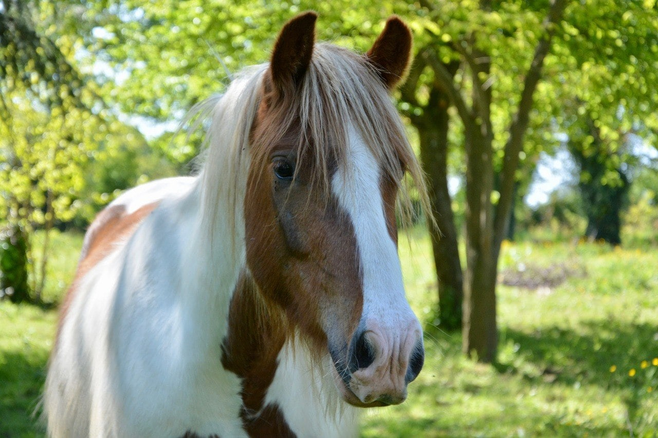 Gypsy Vanner Horse close up