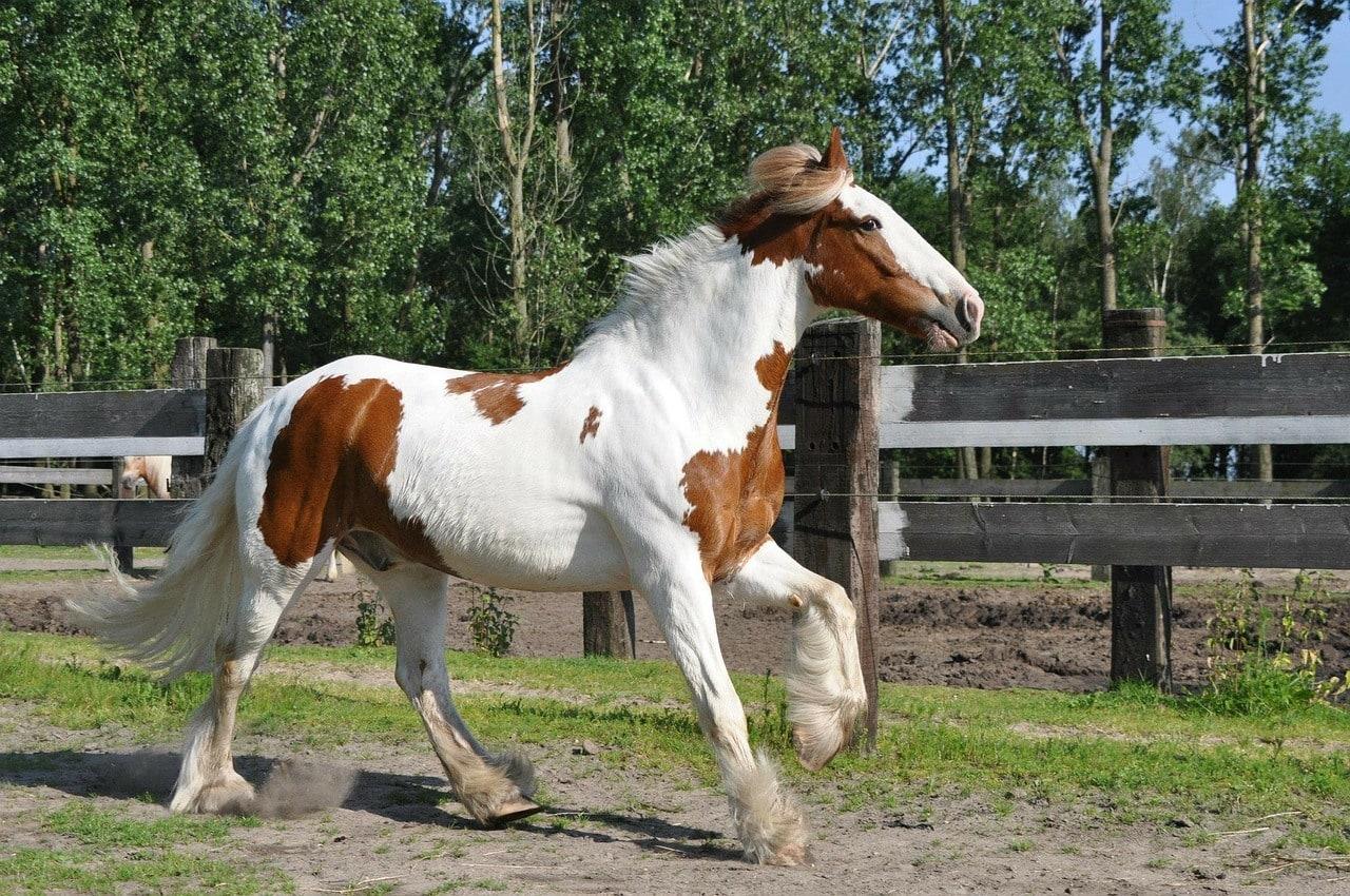 Gypsy Vanner Horse galloping