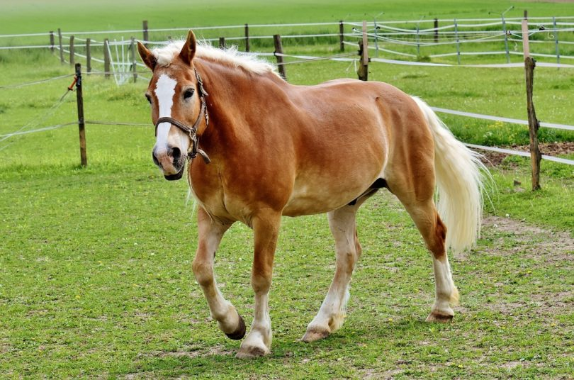 horse mane_Pixabay