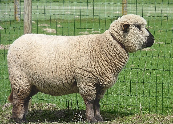 Hampshire_Down_sheep