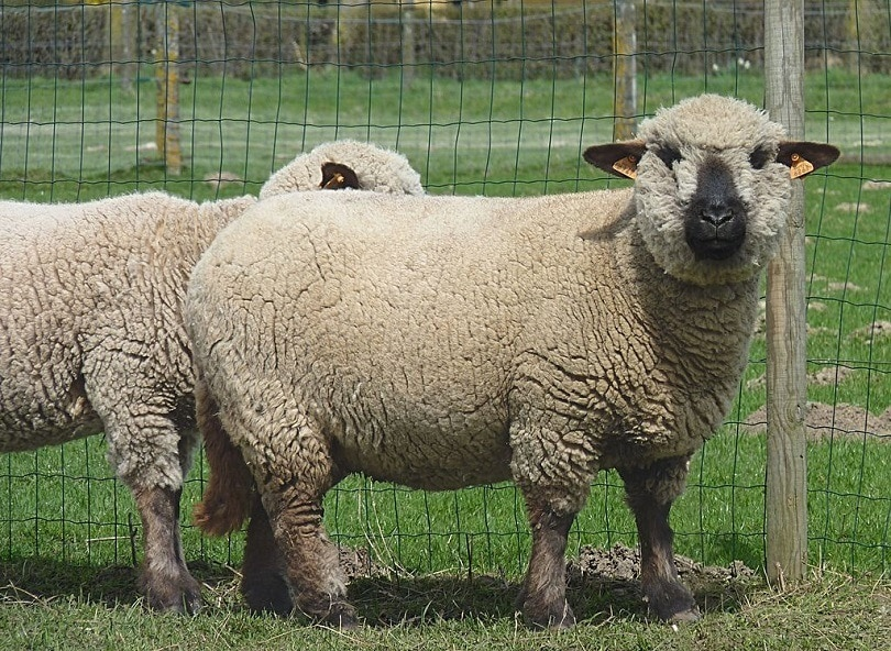 Hampshire_Down_sheep_Commons wikimedia