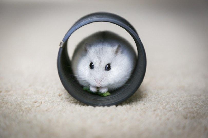 Hamster in a slinky