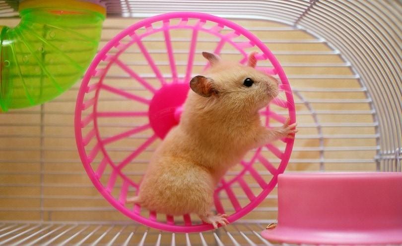 Hamster-running-in-a-wheel_AlexKalashnikov_shutterstock