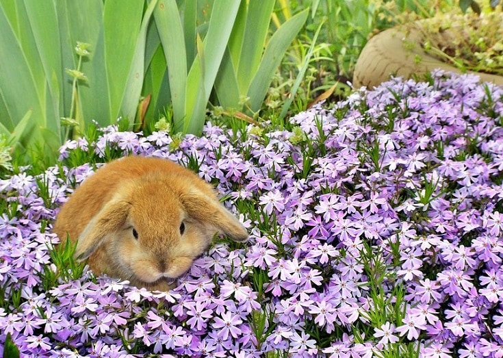 Holland Lop rabbit with flowers