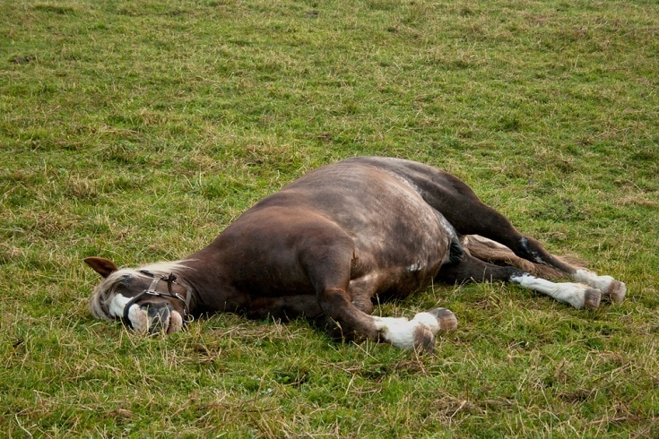 Horse with colic lay down