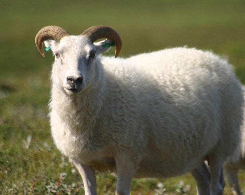 Icelandic_sheep_Commons wikimedia