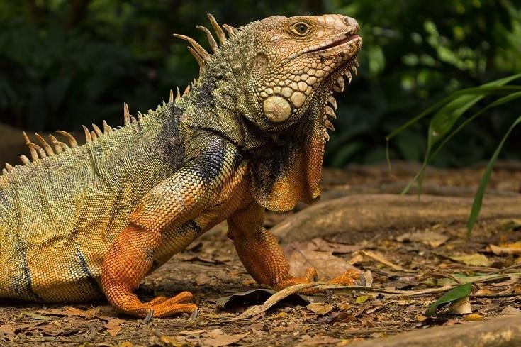 Iguana side view