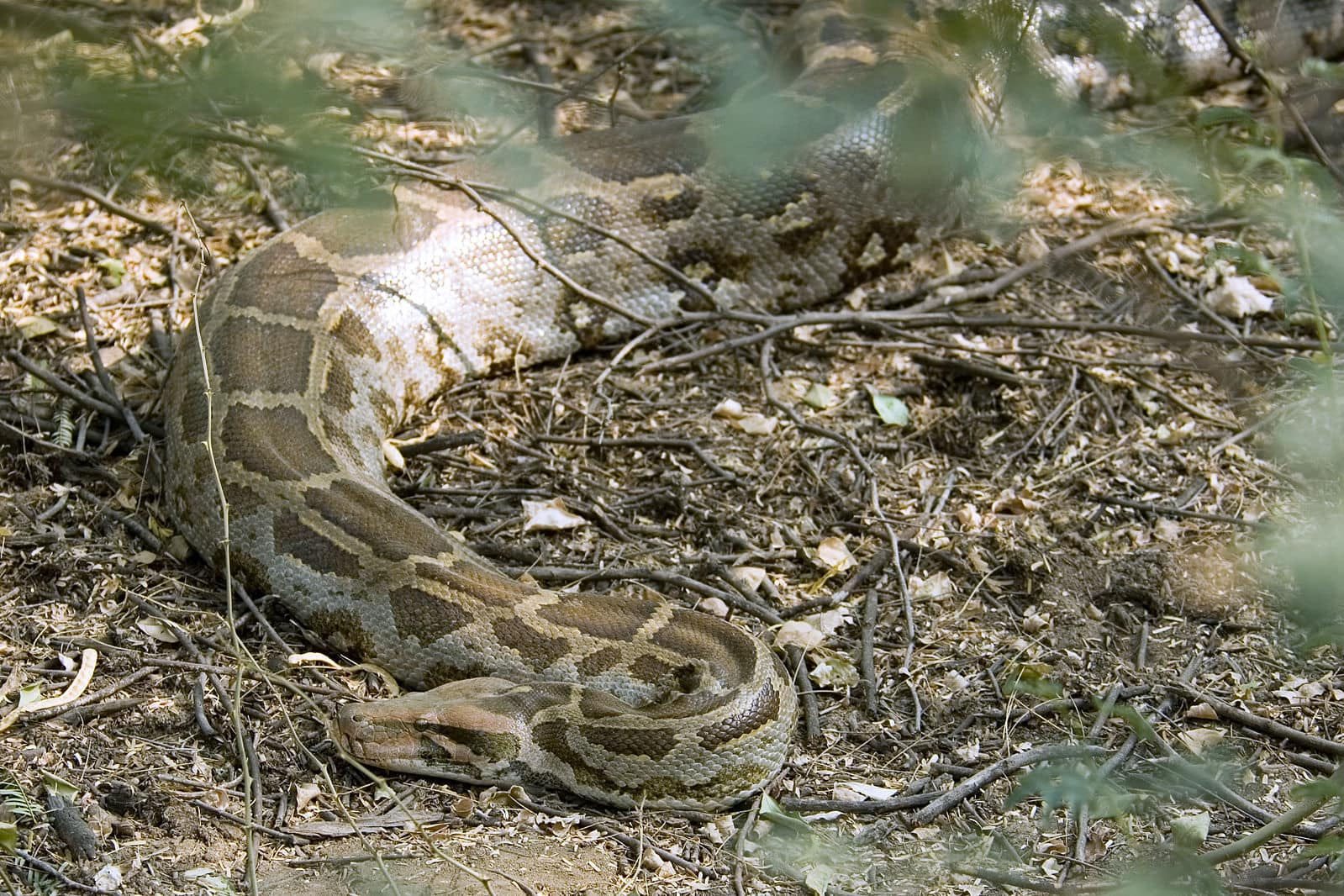 Indian python Python