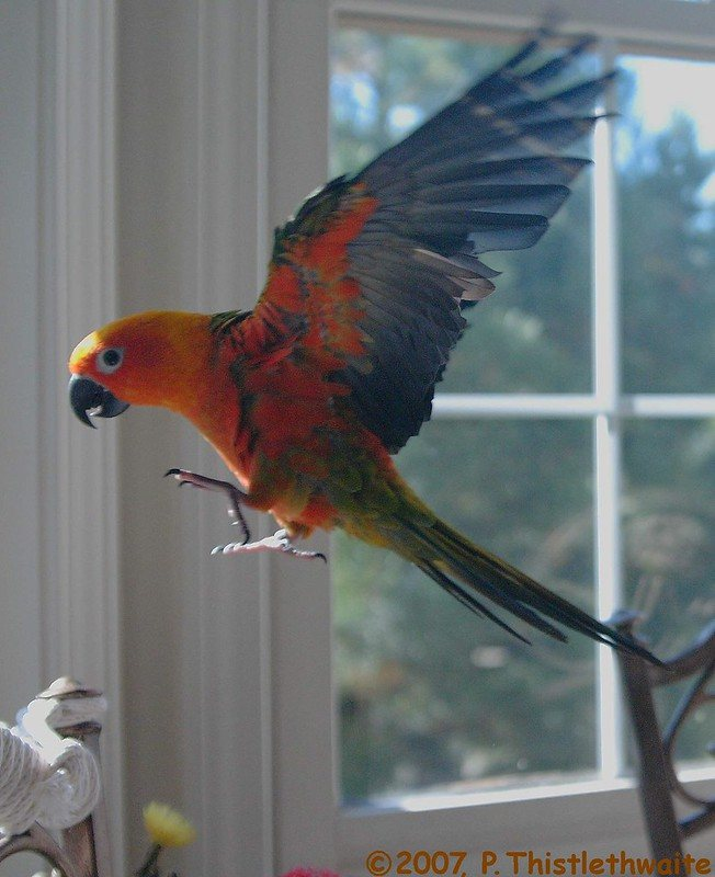 Jenday Conure_Pthistle_flickr