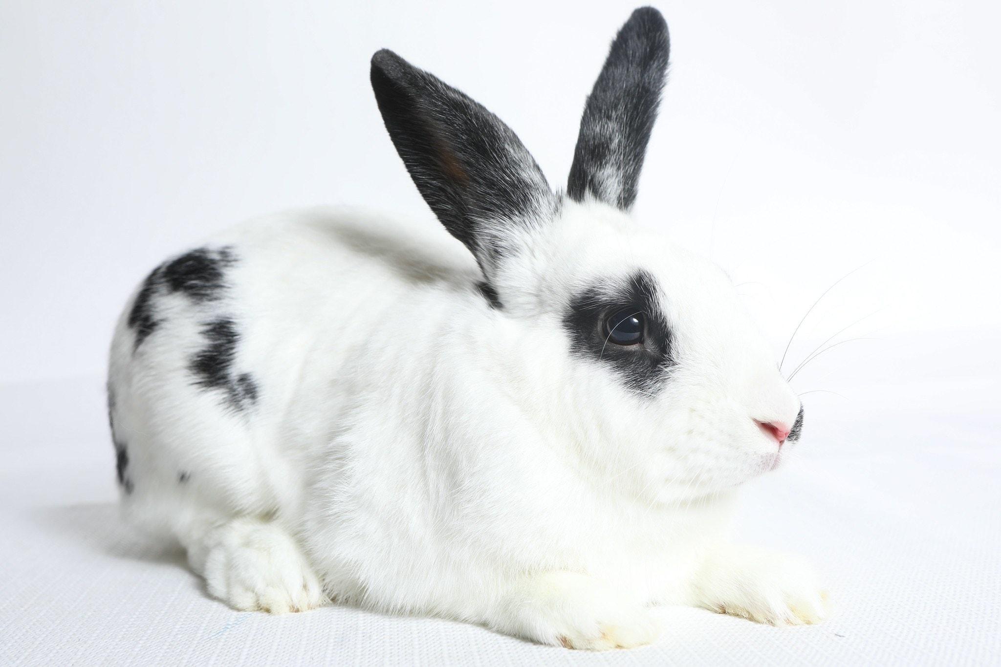 Juno English Spot Rabbit