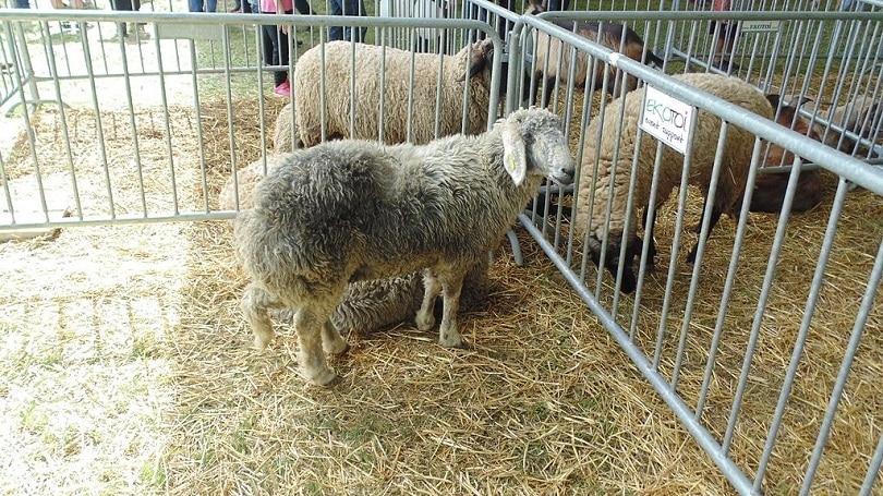 Karakul_sheep_Commons wikimedia