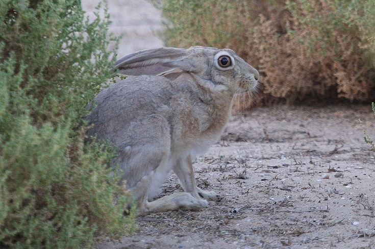 Lepus capensis_Cape Hare