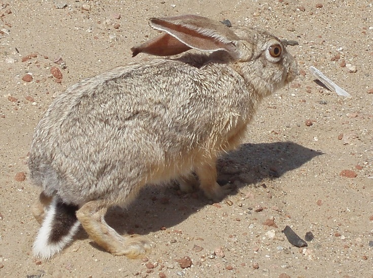 Lepus_capensis_Cape Hare