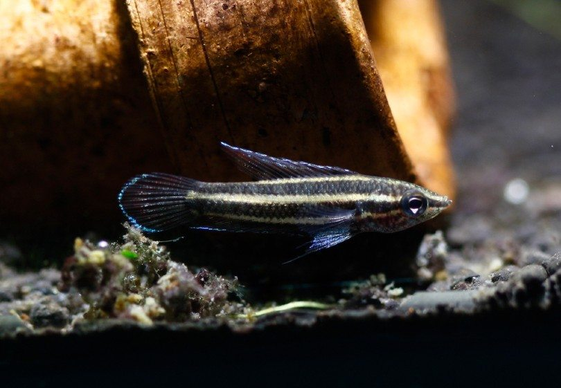 Licorice Gourami