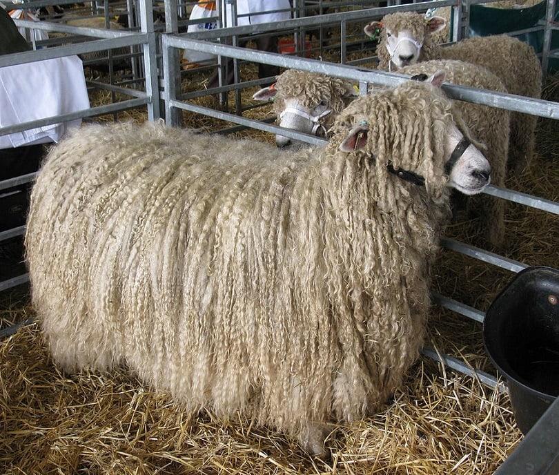 Lincoln_Longwool_Sheep-Commons wikimedia