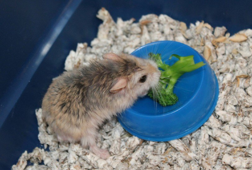 Little hamster eating a piece of broccoli
