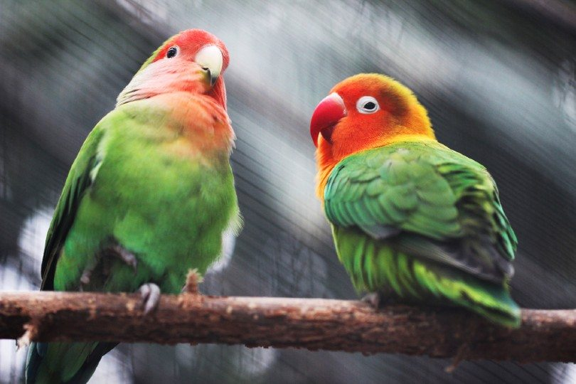 Lovebird parrots on a tree branch