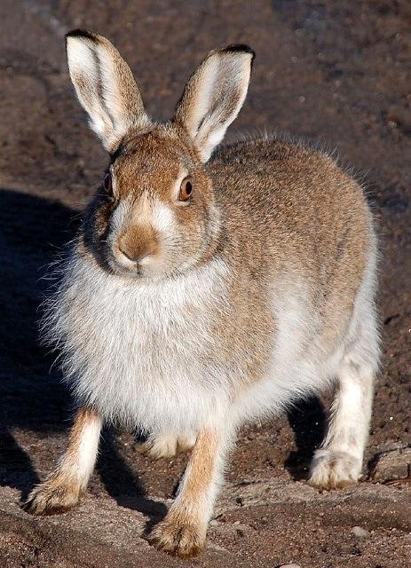 Mountain_hare-Lepus_timidus-Commons wikimedia