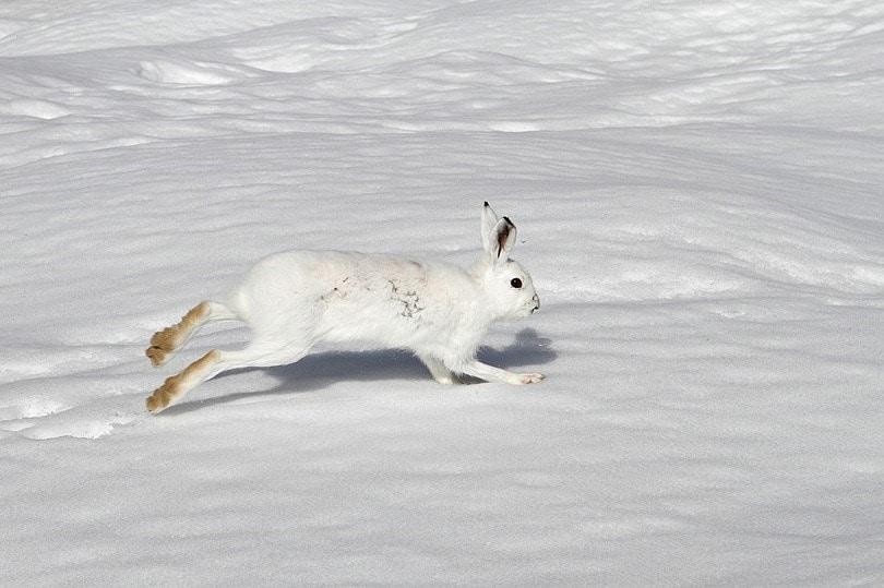 Mountain_hare_Lepus_timidus-Commons wikimedia
