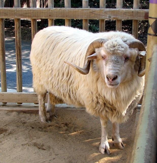 Navajo_Churro_Sheep-commons wikimedia